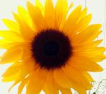 solsikkecleansmall